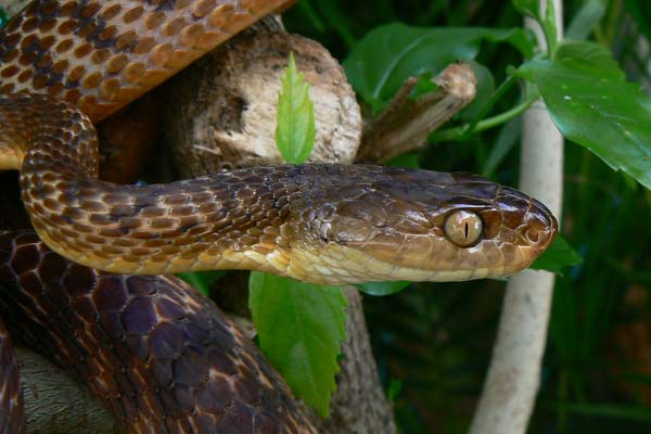 Brown-tree-snake-(1)
