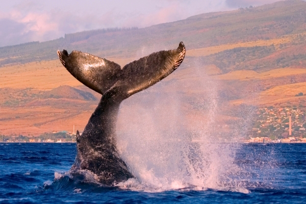 Spot-Humpback-Whales-in-the-tropical-waters-of-Hawaii